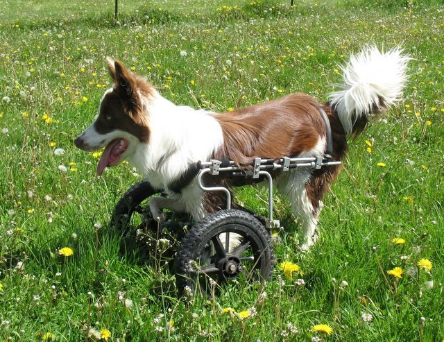 7 motivos para você adquirir a Cadeira de Rodas para Cães